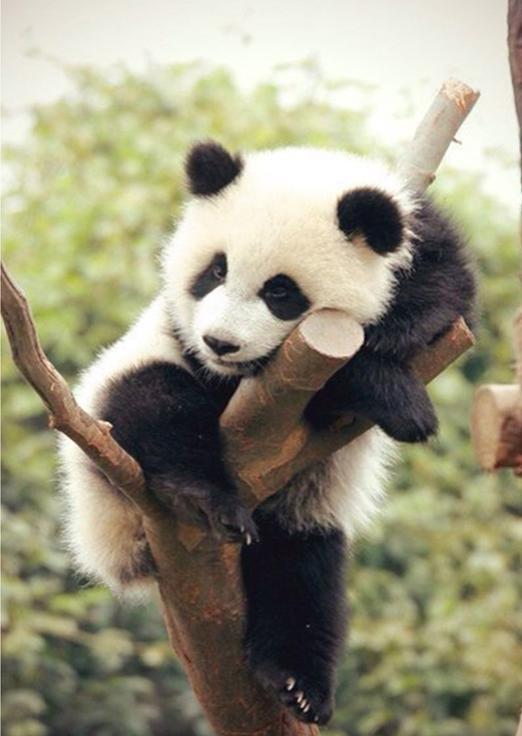 Алмазная вышивка «Уставшая панда»Алмазная вышивка Гранни<br><br><br>Артикул: Ag431<br>Основа: Холст без подрамника<br>Сложность: средние<br>Размер: 27x38 см<br>Выкладка: Полная<br>Количество цветов: 21<br>Тип страз: Квадратные