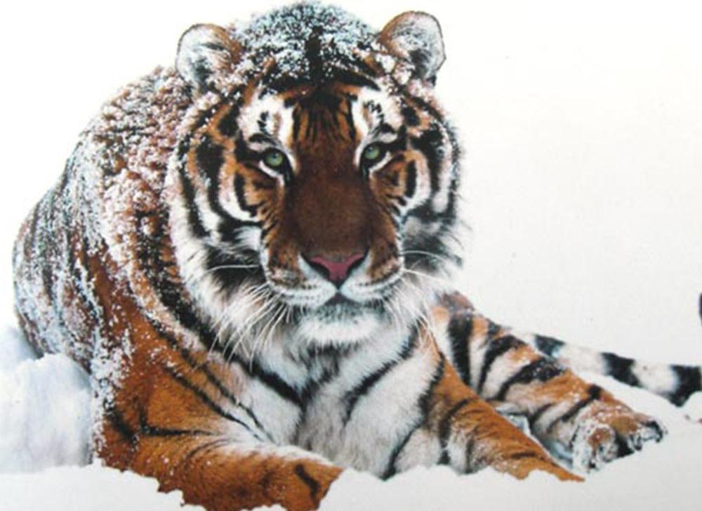 Алмазная вышивка «Тигр на снегу»Алмазная вышивка Гранни<br><br><br>Артикул: AG451<br>Основа: Холст без подрамника<br>Сложность: средние<br>Размер: 48x38 см<br>Выкладка: Полная<br>Количество цветов: 25<br>Тип страз: Квадратные