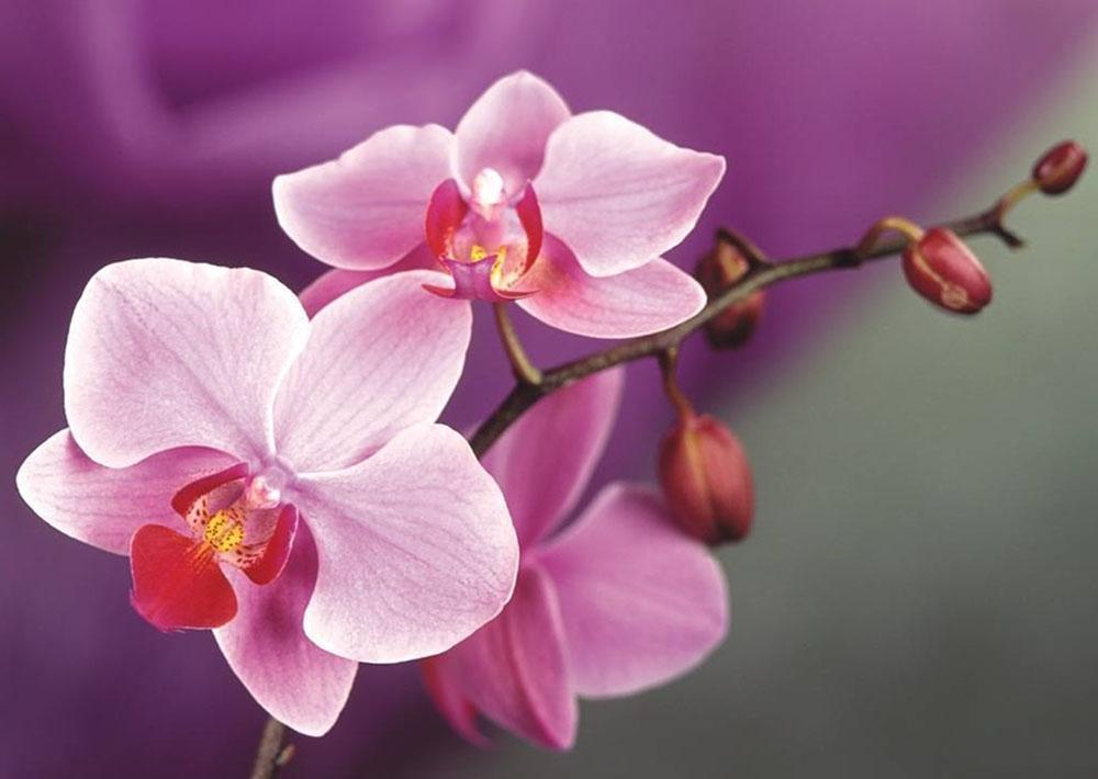 Стразы «Ветвь орхидеи»Алмазная вышивка Гранни<br><br><br>Артикул: AG4634<br>Основа: Холст без подрамника<br>Сложность: средние<br>Размер: 38x27 см<br>Выкладка: Полная<br>Количество цветов: 26<br>Тип страз: Квадратные