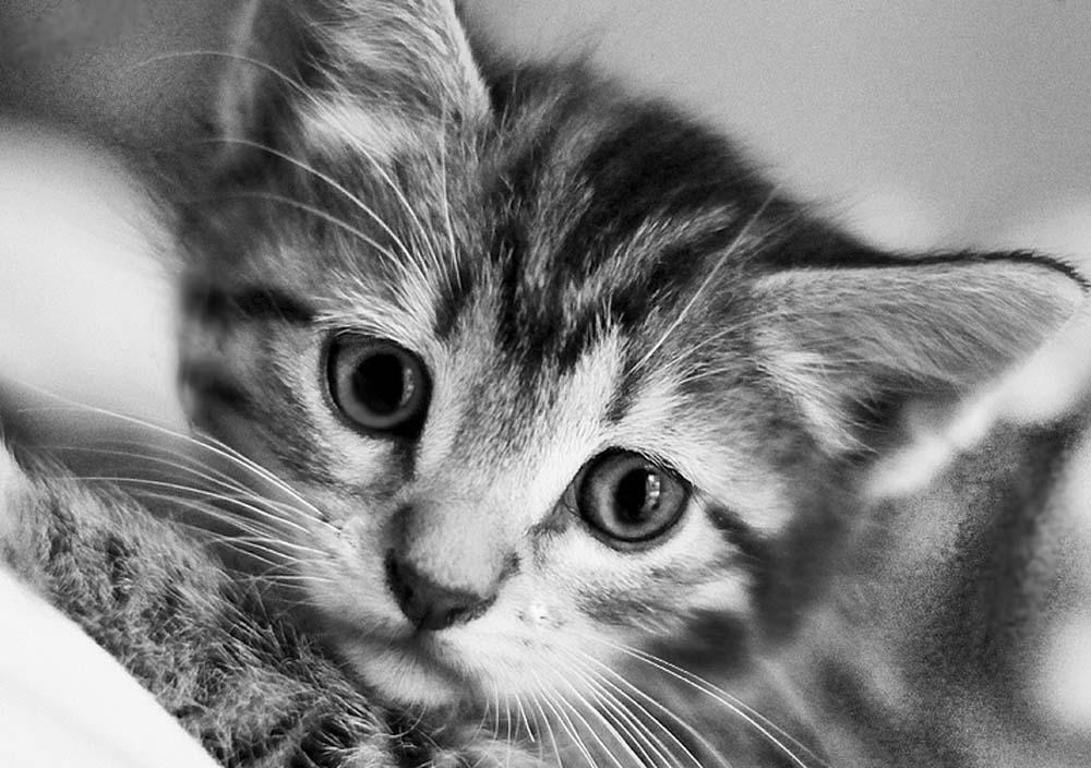 Стразы «Черно-белый кот»Алмазная вышивка Гранни<br><br><br>Артикул: AG467<br>Основа: Холст без подрамника<br>Сложность: средние<br>Размер: 19x27 см<br>Выкладка: Полная<br>Количество цветов: 17<br>Тип страз: Квадратные