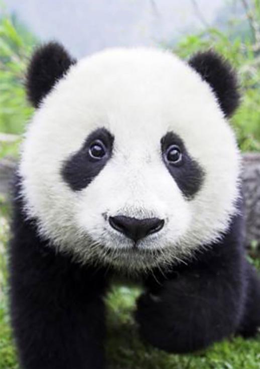 Стразы «Любопытная панда»Алмазная вышивка Гранни<br><br><br>Артикул: AG486<br>Основа: Холст без подрамника<br>Сложность: средние<br>Размер: 19x27<br>Выкладка: Полная<br>Количество цветов: 18<br>Тип страз: Квадратные