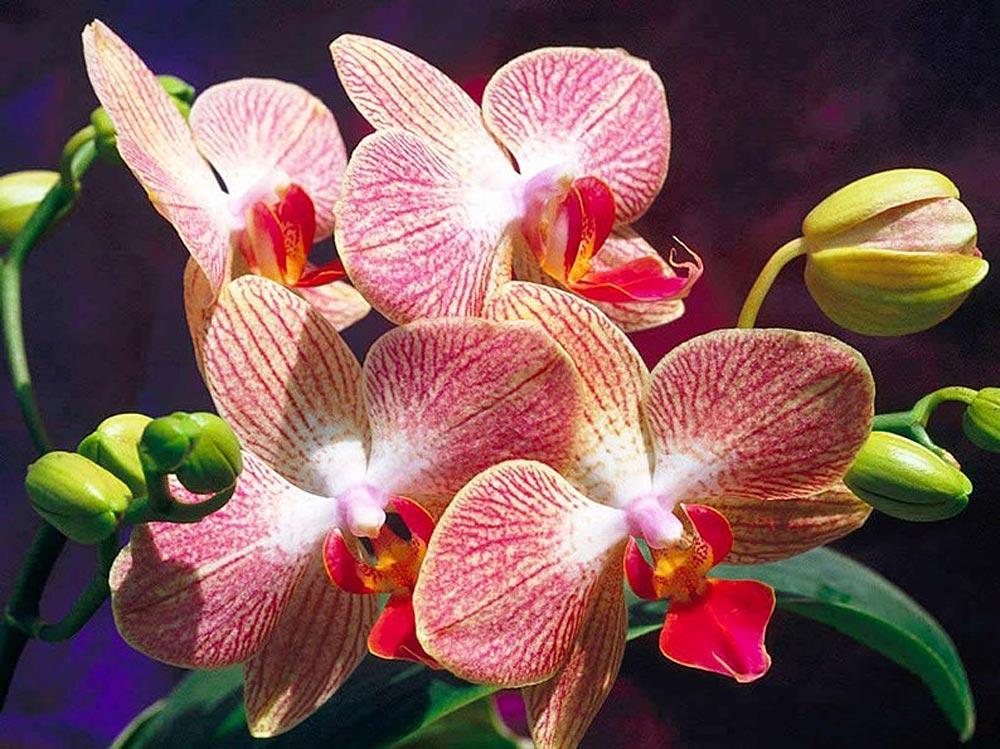 Стразы «Орхидеи»Яркие Грани<br><br><br>Артикул: DS063<br>Основа: Холст без подрамника<br>Сложность: средние<br>Размер: 50x38 см<br>Выкладка: Полная<br>Количество цветов: 53<br>Тип страз: Квадратные