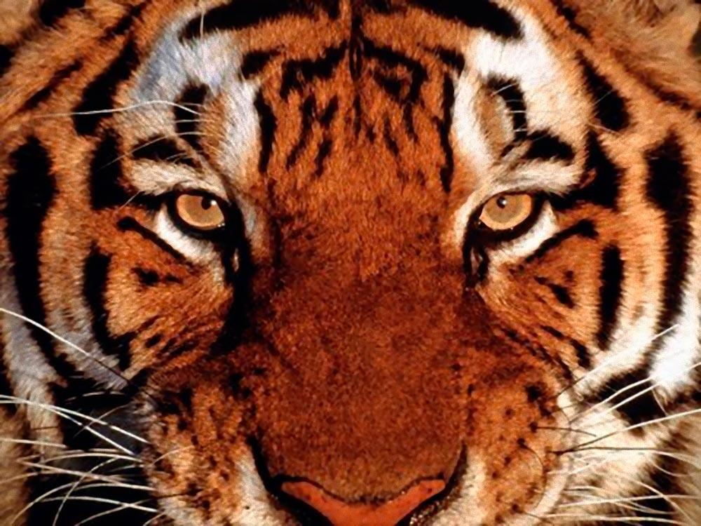 Алмазная вышивка «Взгляд тигра»Алмазная вышивка<br><br>
