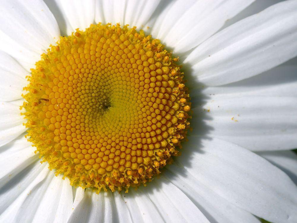 Алмазная вышивка «Цветок ромашки»Яркие Грани<br><br><br>Артикул: DS517<br>Основа: Холст без подрамника<br>Сложность: сложные<br>Размер: 45x34 см<br>Выкладка: Полная<br>Количество цветов: 25<br>Тип страз: Квадратные