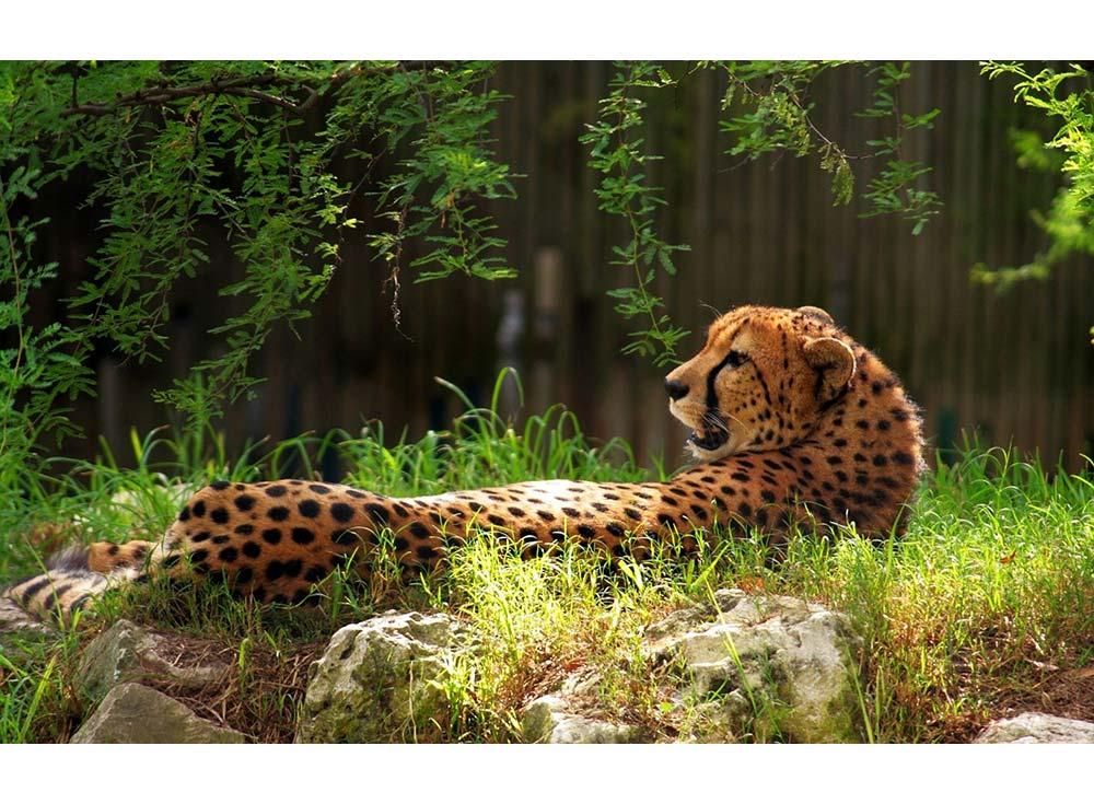 Набор вышивки бисером «Леопард»Color KIT<br><br><br>Артикул: 639<br>Основа: ткань<br>Сложность: легкие<br>Размер: 27x35<br>Техника вышивки: бисер<br>Количество цветов: 10-15<br>Заполнение: Частичное<br>Рисунок на канве: нанесена схема<br>Техника: Вышивка бисером