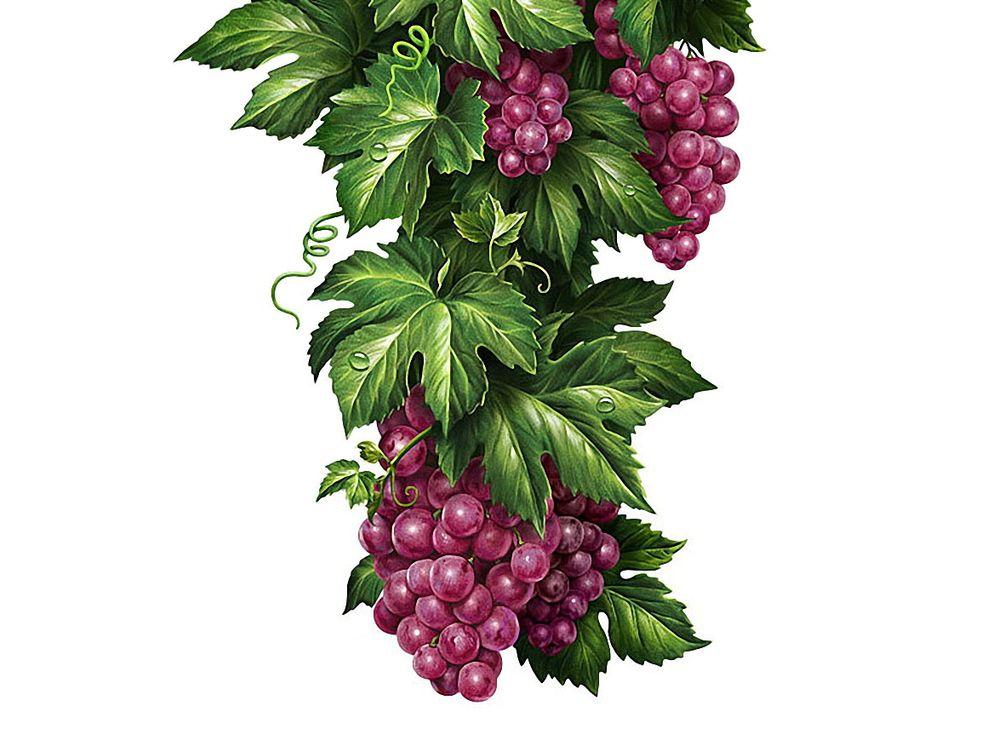 Стразы «Кисти винограда»Алмазная вышивка Гранни<br><br><br>Артикул: Ag865<br>Основа: Холст без подрамника<br>Сложность: средние<br>Размер: 27x38<br>Выкладка: Полная<br>Количество цветов: 25<br>Тип страз: Квадратные