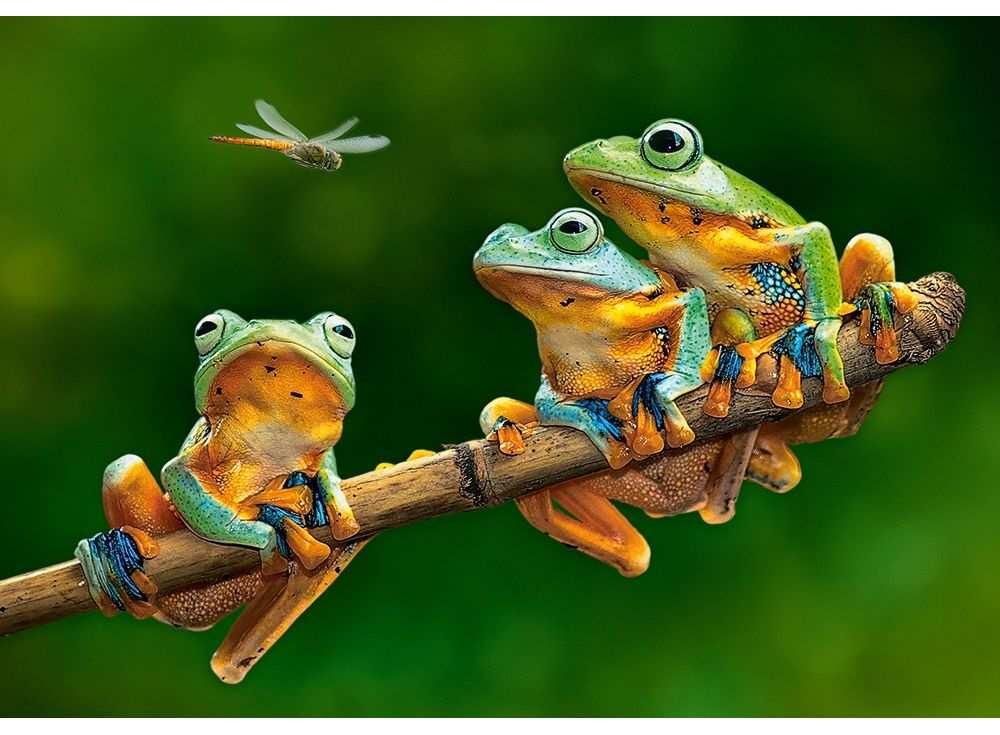 Пазлы «Лягушки»Пазлы от производителя Castorland<br>Пазл - игра-головоломка, мозаика, состоящая из множества фрагментов, различающихся по форме.<br> По мнению психологов, игра в пазлы способствует развитию логического мышления, внимания, воображения и памяти. Пазлы хороши для всех возрастов - и ребенка-дошко...<br><br>Артикул: B52301<br>Размер: 47x33 см