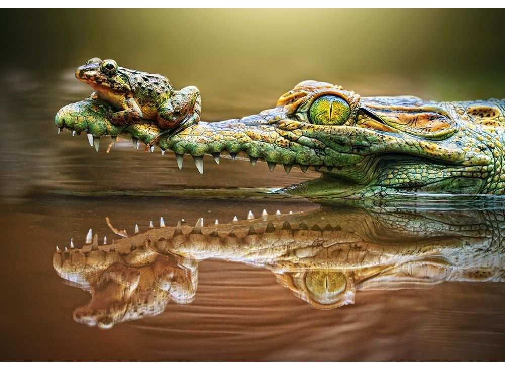 Пазлы «Крокодил и лягушка»Пазлы от производителя Castorland<br>Пазл - игра-головоломка, мозаика, состоящая из множества фрагментов, различающихся по форме.<br> По мнению психологов, игра в пазлы способствует развитию логического мышления, внимания, воображения и памяти. Пазлы хороши для всех возрастов - и ребенка-дошко...<br><br>Артикул: B52318<br>Размер: 47x33 см