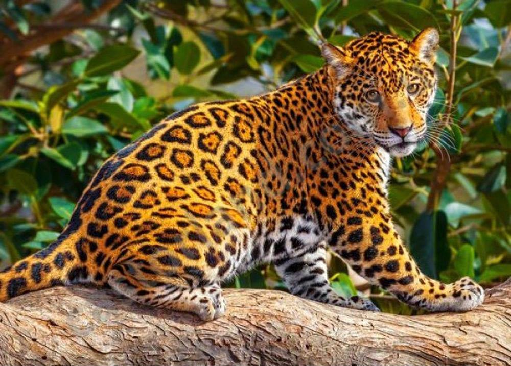 Пазлы «Маленький ягуар»Пазлы от производителя Castorland<br><br><br>Артикул: B27392<br>Размер: 32x23 см
