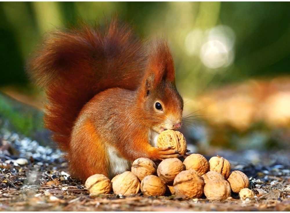 Пазлы «Белка с орешками»Пазлы от производителя Castorland<br><br><br>Артикул: В18277<br>Размер: 32x23 см