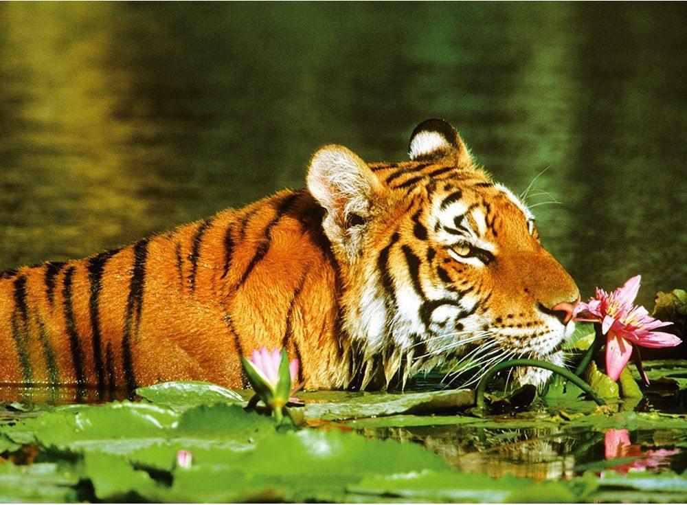 Пазлы «Тигр в лилиях»Ravensburger<br><br><br>Артикул: 14245<br>Размер: 49x36 см