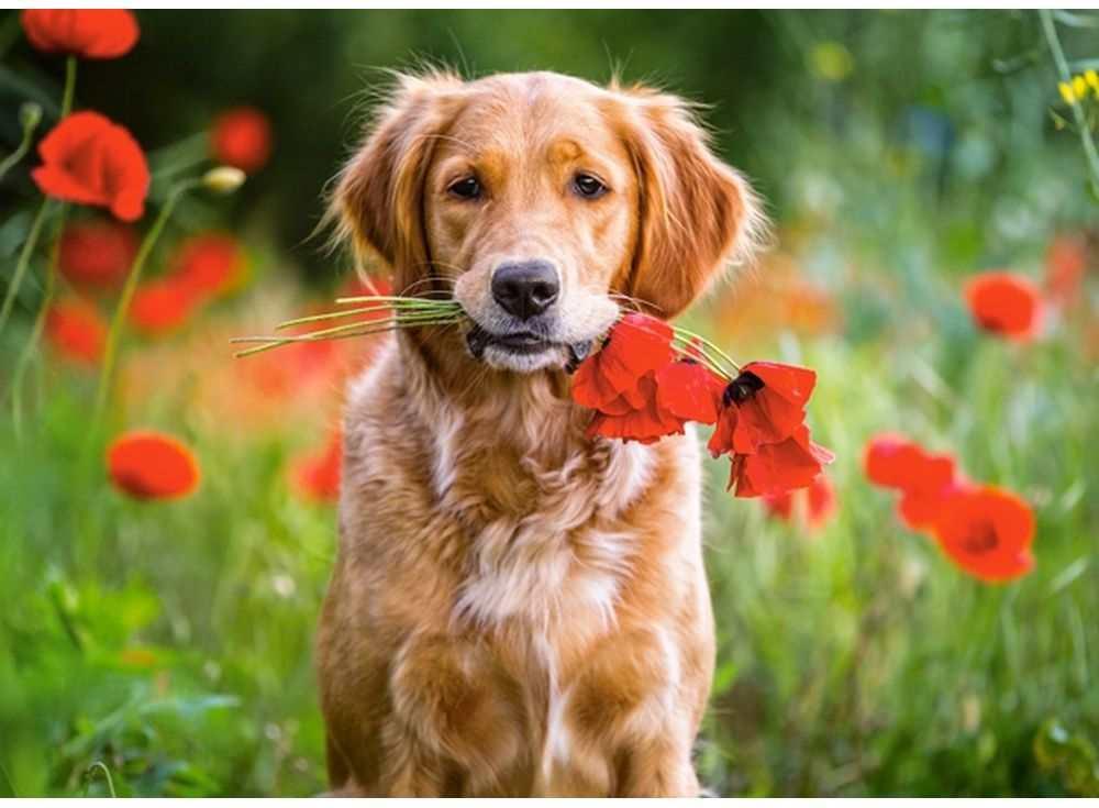 Пазлы «Цветы для вас»Пазлы от производителя Castorland<br><br><br>Артикул: B018284<br>Размер: 32x23 см