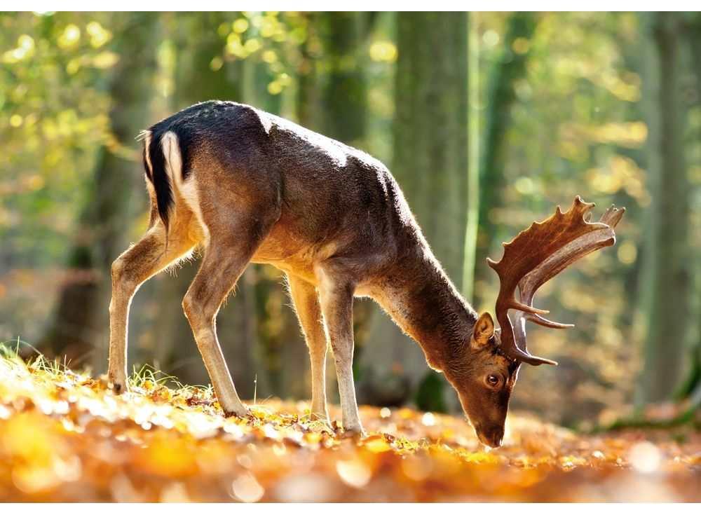 Пазлы «Король леса»Пазлы от производителя Castorland<br><br><br>Артикул: B52325<br>Размер: 47x33 см
