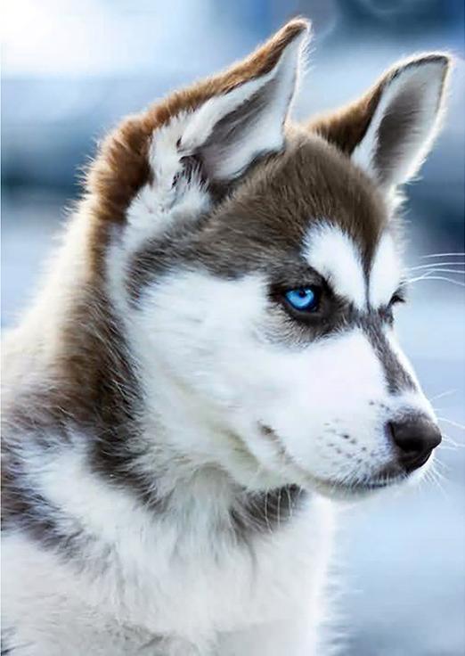 Алмазная вышивка «Снежный пес»Алмазная вышивка Гранни<br><br><br>Артикул: Ag243<br>Основа: Холст без подрамника<br>Сложность: средние<br>Размер: 27x38 см<br>Выкладка: Полная<br>Количество цветов: 35<br>Тип страз: Квадратные