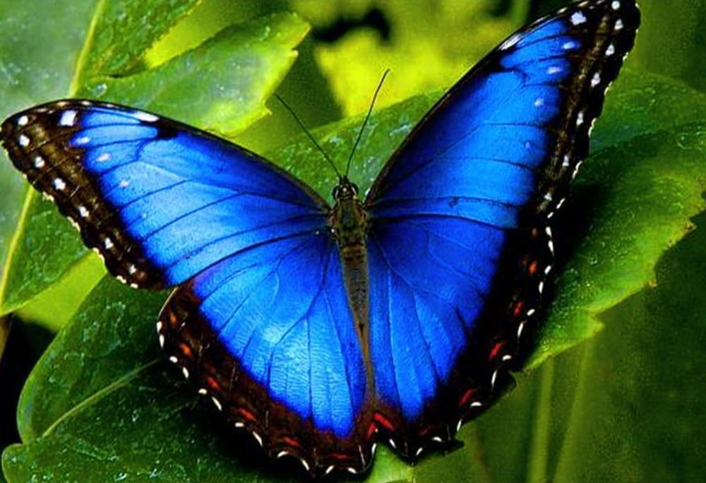 Алмазная вышивка «Голубой морфо»Алмазная вышивка Гранни<br><br><br>Артикул: Ag3425<br>Основа: Холст без подрамника<br>Сложность: средние<br>Размер: 19x27 см<br>Выкладка: Полная<br>Количество цветов: 24<br>Тип страз: Квадратные