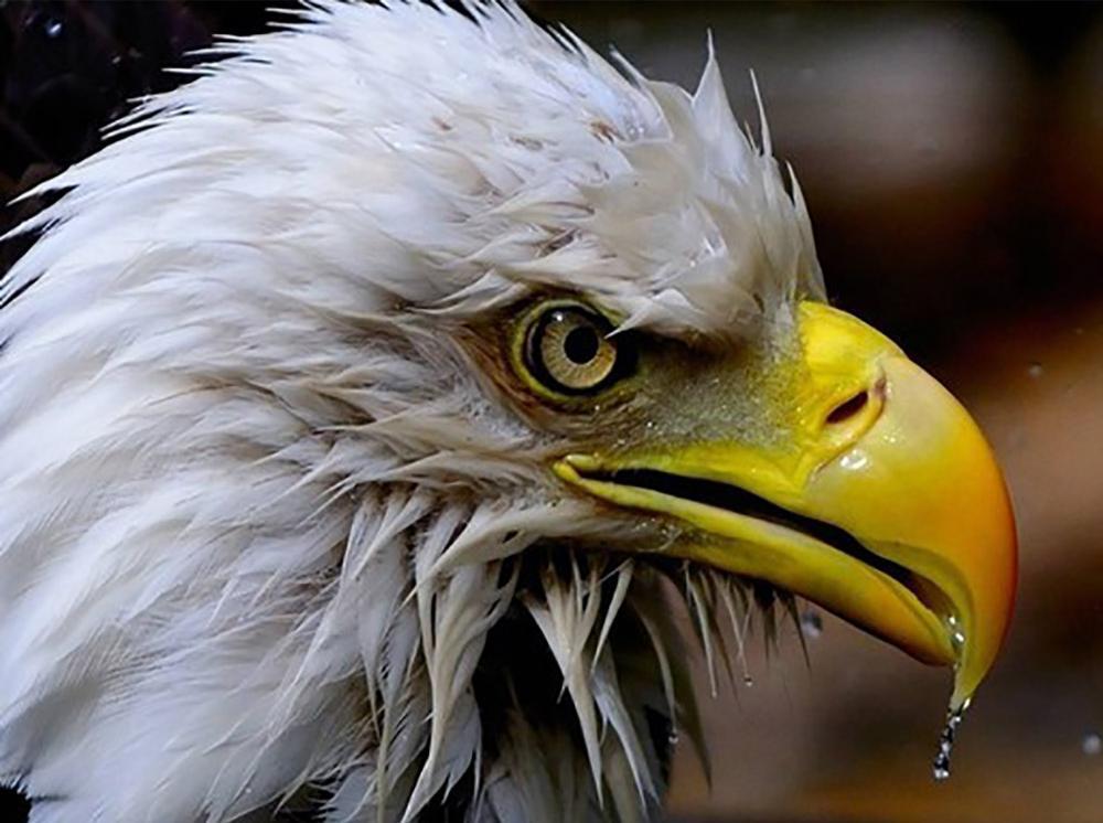 Алмазная вышивка «Орёл»
