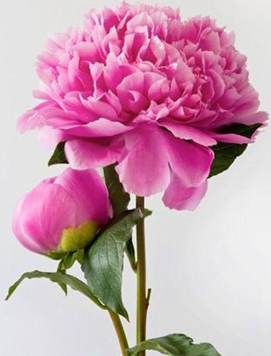 Алмазная вышивка «Розовые пионы», Гранни  - купить со скидкой