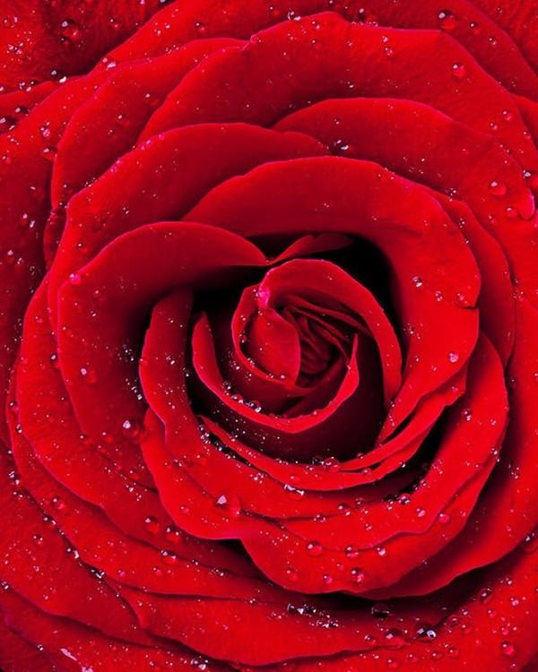Купить Алмазная вышивка «Красная роза», Color KIT, 40x50 см, CKC034